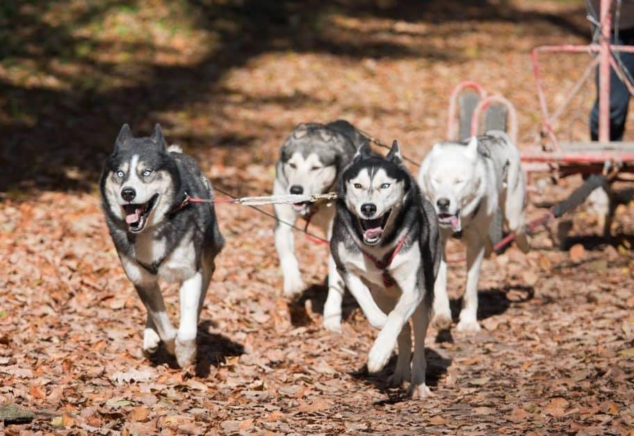 cani-kart chiens traîneau activité neige